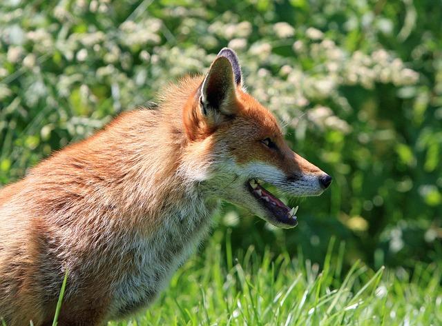 fox-275958_640